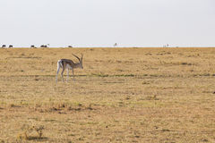 Dotaci gazela Zdjęcia Royalty Free