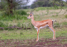 Dotaci gazela Kłaść w trawie Zdjęcia Stock