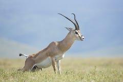 Dotaci gazela, Tanzania (Nanger granti) Zdjęcia Stock