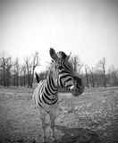 Dotaci zebra Fotografia Royalty Free