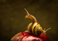 Dotaczanie ślimaczek na jabłku Zdjęcia Stock