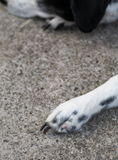 Dots dog paw with black long nails of an old thin sick dalmatian dog Stock Photo