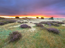 Dots of Heath Hoge Veluwe National Park Holland. Dots of Heath (Calluna vulgaris) in Dune Area of Hoge Veluwe National Park under magnificent sunset, Gelderland royalty free stock image