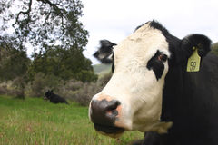 Dots nap. Black and white cow napping in green field with cow in background Stock Photography