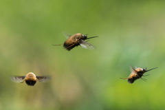 Dotted bee-fly & x28;Bombylius discolor& x29; in flight. Composite of scarce bee mimics in the family Bombylidae, with very long proboscis flying Royalty Free Stock Photo