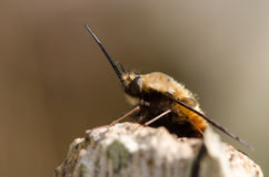 Dotted bee-fly (Bombylius discolor) at rest, in profile Stock Photos