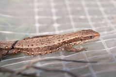 Dotted brown lizard at a white layer - macro royalty free stock photography