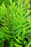 Dotted fern plant (Maile-Scented) Royalty Free Stock Image