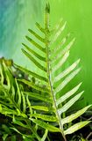 Dotted fern plant, Maile-Scented,Plant green leaf quaint pattern Royalty Free Stock Photos