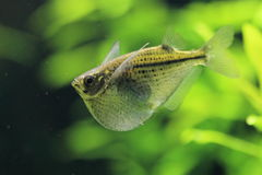 Dotted hatchet fish Stock Images