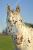 Dotted horse. Portrait.Green grass and blue sky in background Stock Photo