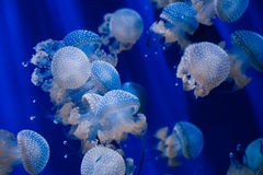 Dotted jellyfishes in blue water. A group of dotted jellyfishes in a tank at Genoa Acquarium Royalty Free Stock Photo
