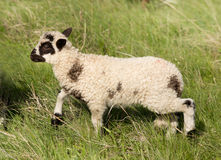 Dotted lamb. Cute dotted lamb walking in high grass on meadow Royalty Free Stock Photos