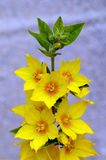 Dotted Loosestrife - Lysimachia punctata flowers against a neutral background Royalty Free Stock Images