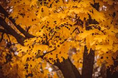 Dotted maple leaves. Dotted yellow maple branch in the autumn forest Stock Image