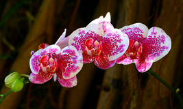 Dotted phalaenopsis orchids Stock Image