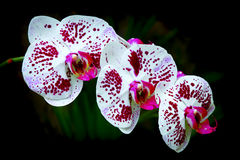 Dotted phalaenopsis orchids Royalty Free Stock Photo