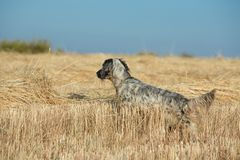 Dotted Setter Stock Photography