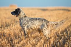 Dotted Setter Royalty Free Stock Photo