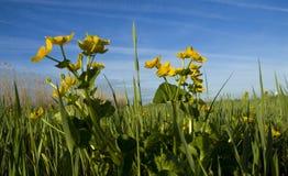 Dotterbloem de Gewone, Marsh Marigold, palustris do Caltha imagem de stock royalty free
