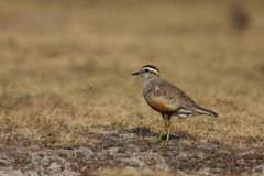 Dotterel Royalty Free Stock Image