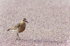 Dotterel on Beach Royalty Free Stock Photography