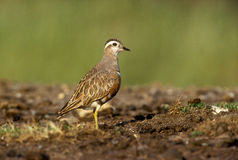Dotterel, Charadius morinellas Stock Photography