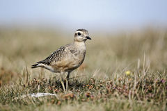 Dotterel, Charadrius morinellus Stock Photo