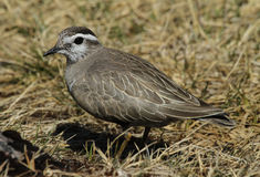 A Dotterel (Charadrius morinellus) portrait. Royalty Free Stock Photography