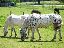 Dottet white horses. Two white horses enjoy fresh grass Royalty Free Stock Photos