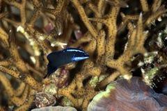 dottyback Azul-rayado fotografía de archivo