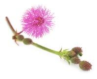 Dotyka Ja Nie kwiat obraz stock