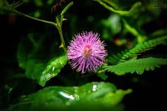 Dotyka Ja Nie kwiat Zdjęcia Royalty Free