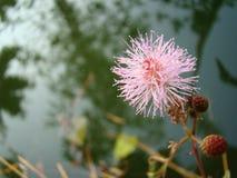 Dotyka ja nie kwiat w ogródzie Zdjęcie Stock