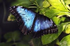 Dotykający: Błękitny Morpho motyl Fotografia Stock