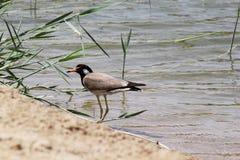 DOUBAI-VERENIGD ARABISCHE EMIRATEN OP 21 JULI 2017 Een eenzame babyvogel op de kust van het meer al-QUDRA Royalty-vrije Stock Foto