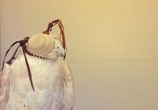 DOUBAI-VERENIGD ARABISCHE EMIRATEN OP 21 JUNI 2017 Elegant beeld dat van VALKvogel wordt geschoten, ogen die met masker worden be Royalty-vrije Stock Afbeeldingen