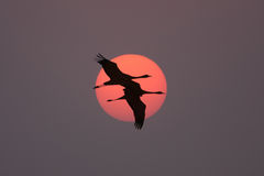 Double. A pair of cranes are flying to the sun, they are never separated Stock Image