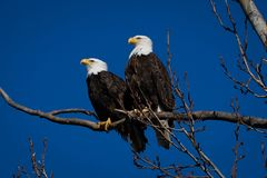 Free Double American Bald Eagles Perch On Tree Snag Against Background Of Blue Sky Royalty Free Stock Photography - 141527607
