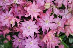 Double ancolie rose de Columbine Photo stock