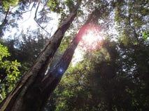 Double arbre Image libre de droits
