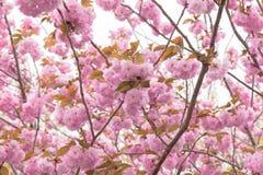 Double arbre de floraison de fleurs de cerisier Images libres de droits