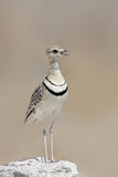 Double-banded Courser. Standing on a white rock in Etosha; Rhinoptilus africanus Royalty Free Stock Images