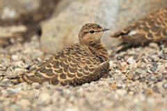 Double-banded courser Stock Images