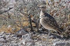 Double-banded courser, Namibia Stock Photography