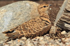 Double-banded courser Stock Photo