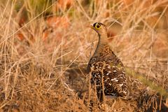 Double banded sand grouse. Between grass Royalty Free Stock Images