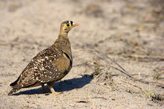 Double-Banded Sandgrouse. A full length view of a Double-Banded Sandgrouse, Kruger National Park Royalty Free Stock Photos