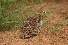 Double-banded Sandgrouse Female. We saw the sandgrouse on a game-drive one afternoon in the reserve Stock Images