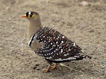 Double Banded Sandgrouse. On ground Royalty Free Stock Photography